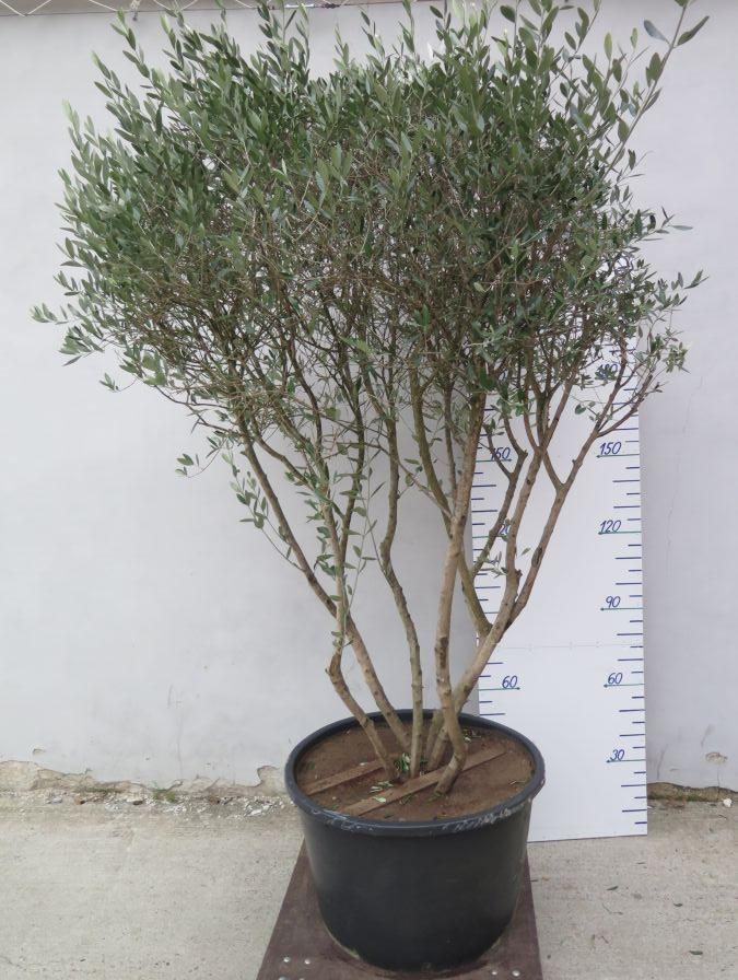OLEA EUROPEA 250 CM