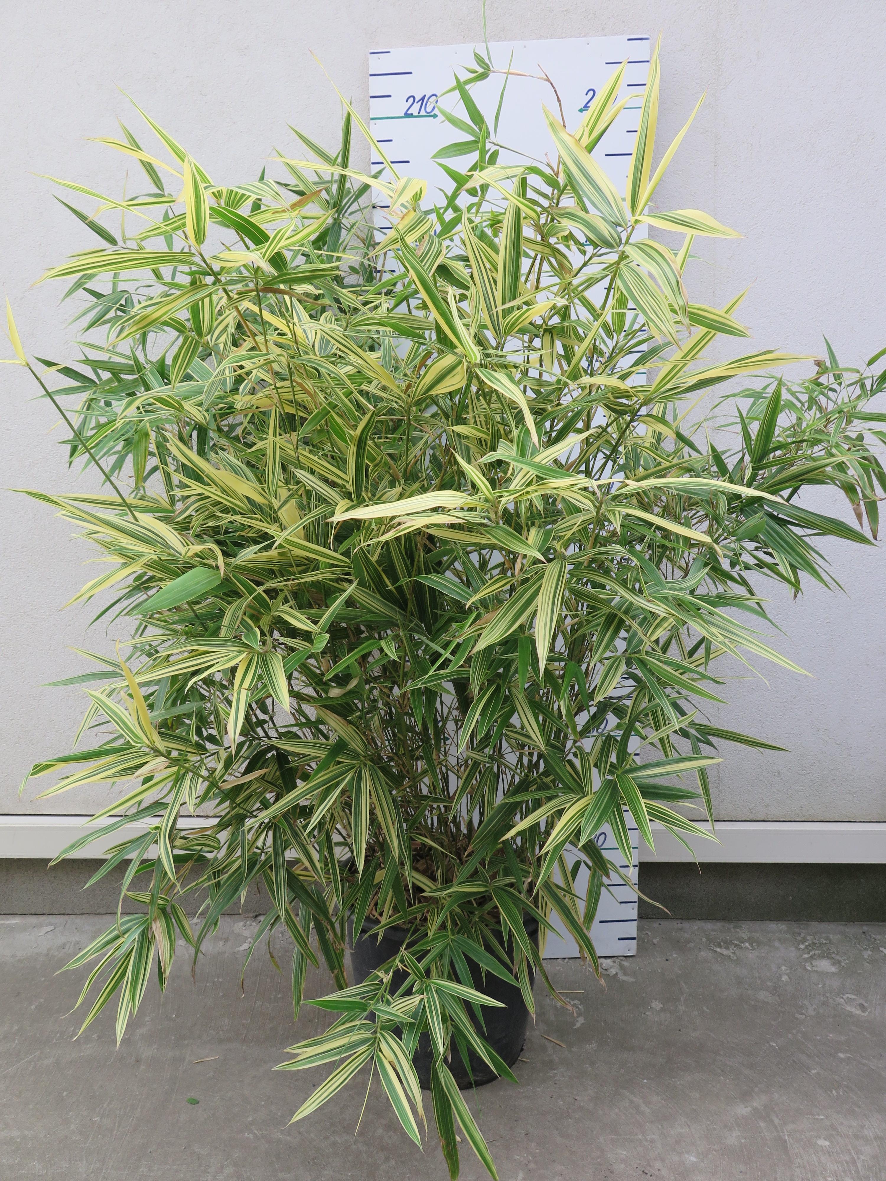 Bambusa Metake 'Variegata'
