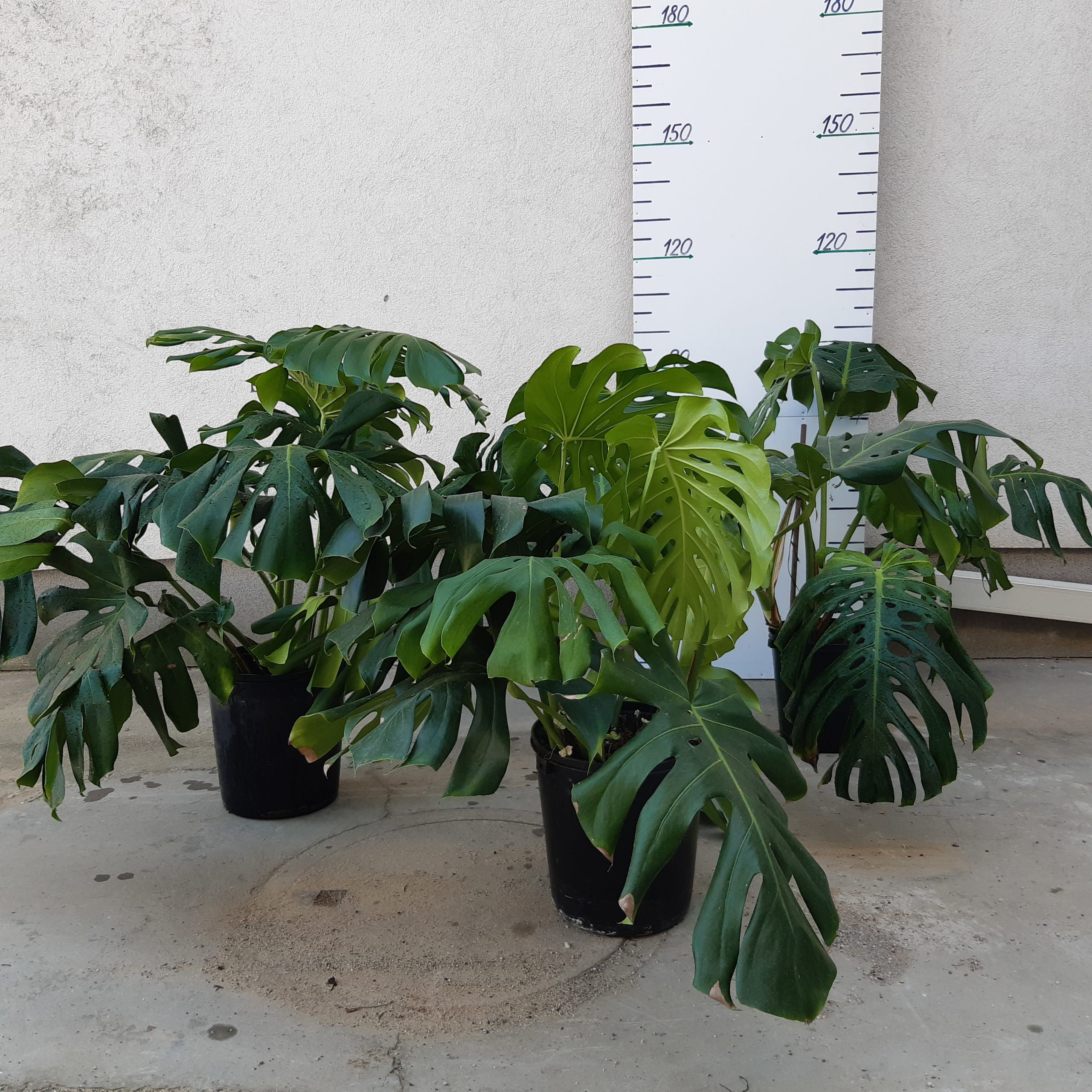 Philodendron MONSTERA Výška 100 Cm
