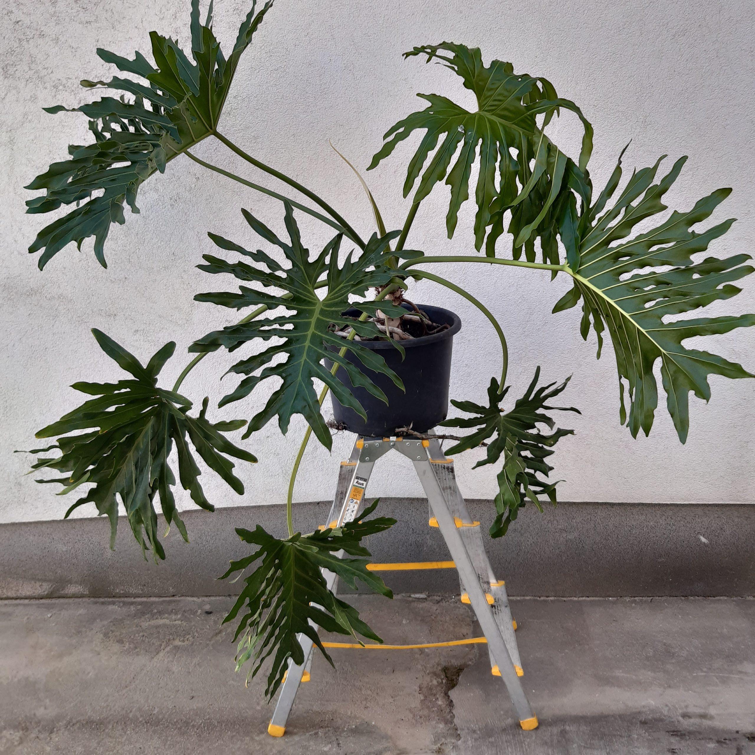 Philodendron XANADU Výška 100 Cm